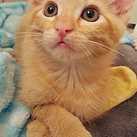 Domestic Shorthair Kitten for adoption in Burbank, California - Cooper