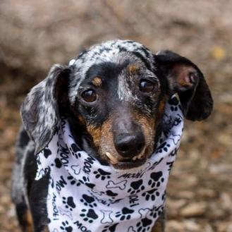 Dachshund Mix Dog for adoption in Itasca, Illinois - Pepper