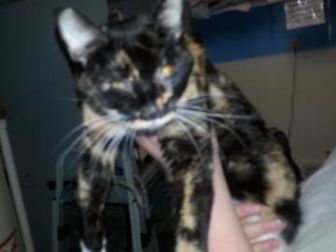 Domestic Shorthair/Domestic Shorthair Mix Cat for adoption in Robinson, Illinois - Casiopea