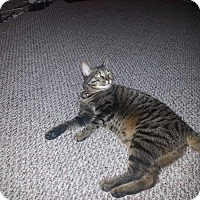 American Shorthair Cat for adoption in Baltimore, Maryland - Houdini