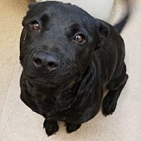 Adopt A Pet :: Cera #169588 - Apple Valley, CA