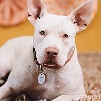 Adopt A Pet :: Gwen - Portland, OR