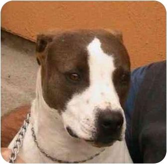 American Pit Bull Terrier Mix Dog for adoption in Berkeley, California - Jodi