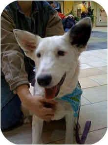 Australian Cattle Dog Mix Dog for adoption in Santa Fe, New Mexico - Julie