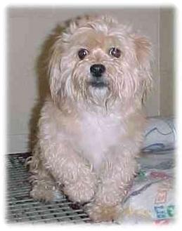 Shih Tzu/Poodle (Miniature) Mix Dog for adoption in Rochester Hills, Michigan - Gizmo