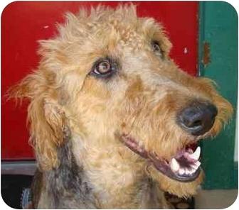 Portuguese Water Dog/Labradoodle Mix Dog for adoption in Haughton, Louisiana - FOUND
