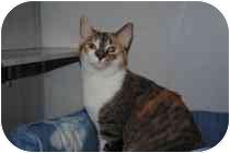 Domestic Shorthair Cat for adoption in Marietta, Georgia - Nyla