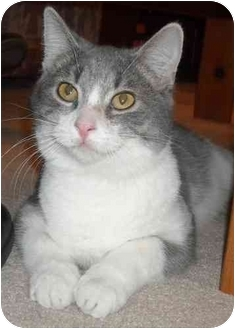 Domestic Shorthair Cat for adoption in Mesa, Arizona - Lil Bit