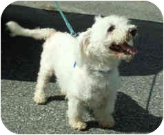 Poodle (Miniature) Dog for adoption in Milton, Massachusetts - Noodles