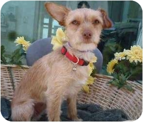 Terrier (Unknown Type, Small) Mix Dog for adoption in Encino, California - Sixx