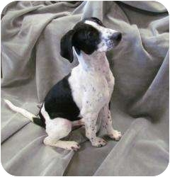 Labrador Retriever Mix Puppy for adoption in Chester, Maryland - Spooky