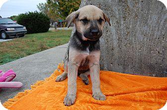 Border Collie Mix Puppy for adoption in North Judson, Indiana - Werewolf