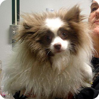 Pomeranian Dog for adoption in Manassas, Virginia - Bandit