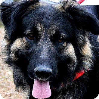 German Shepherd Dog/Leonberger Mix Dog for adoption in Wakefield, Rhode Island - SERENA(she deserved better!!!)