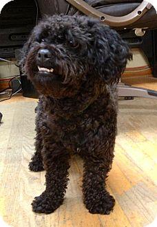 Shih Tzu/Poodle (Miniature) Mix Dog for adoption in Waldorf, Maryland - Bobo