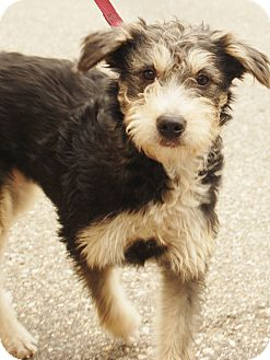 Schnauzer (Miniature)/Terrier (Unknown Type, Medium) Mix Dog for adoption in Detroit, Michigan - Misty-Adopted!