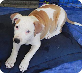 Pit Bull Terrier Mix Puppy for adoption in Winnetka, California - Ziva