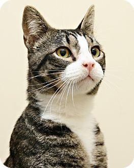 Domestic Shorthair Kitten for adoption in Bellingham, Washington - Barnabas