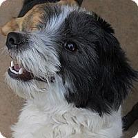 Adopt A Pet :: Priscilla - dewey, AZ