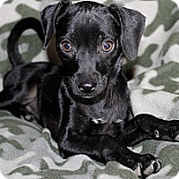 Adopt A Pet :: Onyx - Fountain, CO