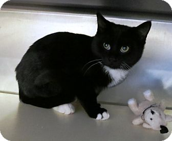 Domestic Shorthair Cat for adoption in Geneseo, Illinois - Sway