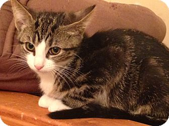 Domestic Shorthair Cat for adoption in Owatonna, Minnesota - Cookie