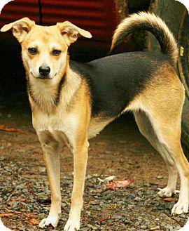Beagle/Basenji Mix Dog for adoption in Snohomish, Washington - Norma Jean, pint sized perfect