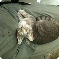 Adopt A Pet :: Graystripe - Brooklyn, NY