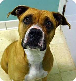 Boxer Mix Dog for adoption in union, Missouri - Clara