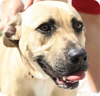 Labrador Retriever/Terrier (Unknown Type, Medium) Mix Dog for adoption in Newburgh, Indiana - Chomper