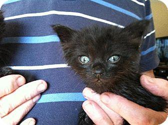 Domestic Longhair Kitten for adoption in Wilmore, Kentucky - Sylvester