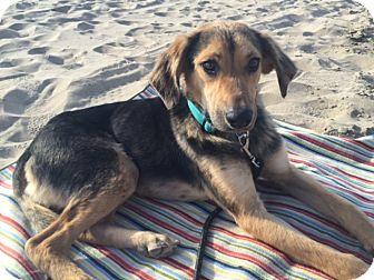 Beagle/Labrador Retriever Mix Dog for adoption in Long Beach, California - Duke