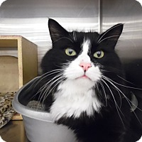 Adopt A Pet :: Sylvester(Woodbury Petsmart) - Roseville, MN