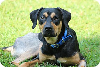 "Hound (Unknown Type)/German Shepherd Dog Mix Dog for adoption in Prince Frederick, Maryland - Bruce Wayne AKA ""Batman"""
