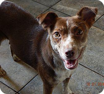 Australian Shepherd/Shepherd (Unknown Type) Mix Dog for adoption in Williamsport, Maryland - Molly(22 lb) New Pics & Video!