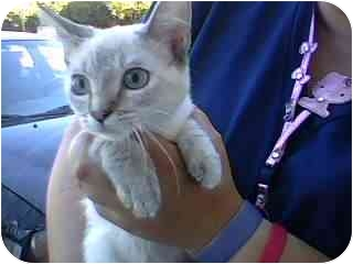 Siamese Kitten for adoption in Tracy, California - Jessica-ADOPTED
