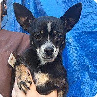 Adopt A Pet :: Alice - Westminster, CA