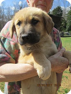 Golden Retriever/German Shepherd Dog Mix Puppy for adoption in South Burlington, Vermont - TOSCHA