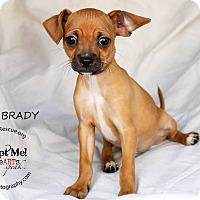 Adopt A Pet :: Greg Brady - Shawnee Mission, KS