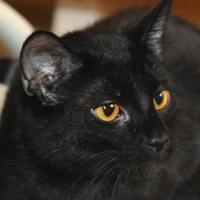 Domestic Shorthair/Domestic Shorthair Mix Cat for adoption in Tilton, Illinois - Duncan