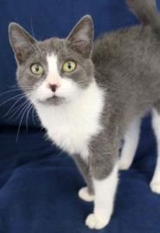Domestic Shorthair/Domestic Shorthair Mix Cat for adoption in Elkhorn, Wisconsin - Spring