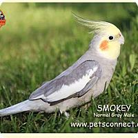 Adopt A Pet :: Smokey - South Bend, IN