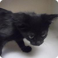 Domestic Shorthair Kitten for adoption in Batesville, Arkansas - Kale