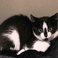 Adopt A Pet :: KITTS - Hampton Bays, NY