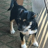 Adopt A Pet :: Penelope - Evergreen, CO