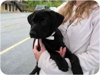 Labrador Retriever/Golden Retriever Mix Puppy for adoption in Cumming, Georgia - Tony