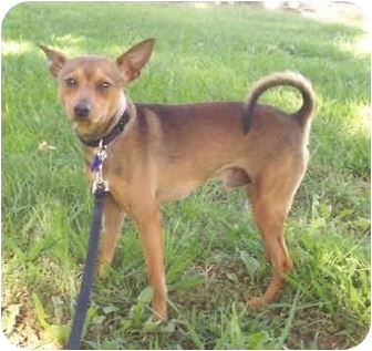 Basenji/Terrier (Unknown Type, Small) Mix Dog for adoption in Sacramento, California - Luther