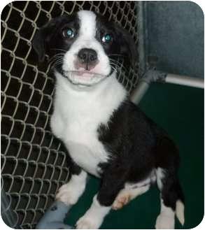 Labrador Retriever/Border Collie Mix Puppy for adoption in East Hampton, New York - Poker