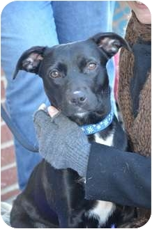 Labrador Retriever Mix Dog for adoption in Nashville, Tennessee - Lucy