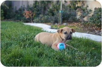 Shepherd (Unknown Type)/Labrador Retriever Mix Puppy for adoption in Tustin, California - Apricot